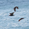 Black Oystercatchers, Pigeon Point Lighthouse, 17-May-2013