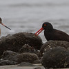 Black Oystercatcher with Marbled Godwit, Pillar Point Harbor, San Mateo County11-Jan-2014