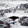 Black Oystercatcher Art