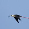 Black-winged Stilt in Flight