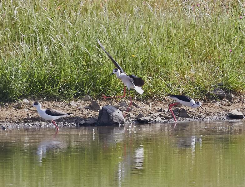 Black-winged Stilts at a Pond