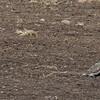 Common Redshank with European Golden-Plover