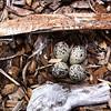 Killdeer Eggs in Scrape, Los Altos, Santa Clara County, CA, 13-Apr-2012