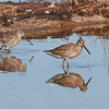 Long-billed Dowitcher (juvenile on right)
