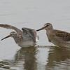 Long-billed Dowitcher Pursuing Juvenile Stilt Sandpiper