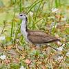 Northern Jacana (juvenile)
