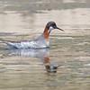 Red-necked Phalarope, Pilarcitos Creek Mouth, 17-May-2013