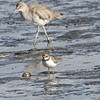 Semi-palmated Plover and Willet, Jetty Road - Moss Landing, 1-10-2013