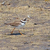 Semipalmated Plover, Pilarcitos Creek Mouth, 17-May-2013