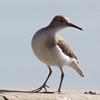 Spotted Sandpiper, Vasona Lake County Park, CA, 11-Sept-2014