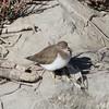 Spotted Sandpiper, San Francisquito Creek, San Mateo County, CA, 15-Nov-2013