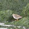 Spotted Sandpiper, Coyote Point, San Mateo County, 21-Sept-2013