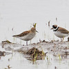 White-rumped Sandpiper (with Semipalmated Plover)