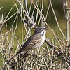 Bell's Sparrow (canescens)