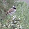 Black-throated Sparrow near Cave Creek Ranch, 28-Aug-2013