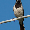 Black-throated Sparrow at Florida Wash