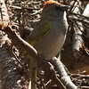 Green-tailed Towhee at Quaking Aspen Campground