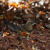 Spotted Towhee (juvenile)