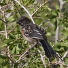 Juvenile Spotted Towhee