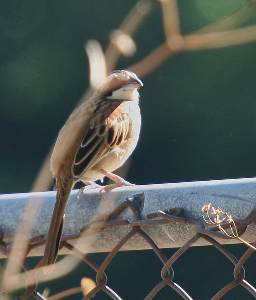 Stripe-headed Sparrow