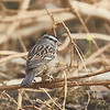 White-crowned Sparrow (gambelli)