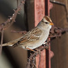 White-crowned Sparrow gambelii, Butte Rd., Sutter County, 18-Jan-2014