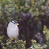 White-crowned Sparrow in the Mist