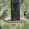 White-crowned Sparrow with House Sparrow at Thistle Feeder