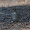 White-crowned Sparrow gambelii, Graylodge, Butte County, 18-Jan-2014
