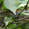 Yellow-throated Chlorospingus