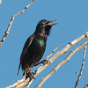 Singing European Starling, Graylodge, Butte County, 18-Jan-2014