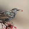 European Starling, Pt Emery, Emeryville, Alameda County, CA, 28-Nov-2013