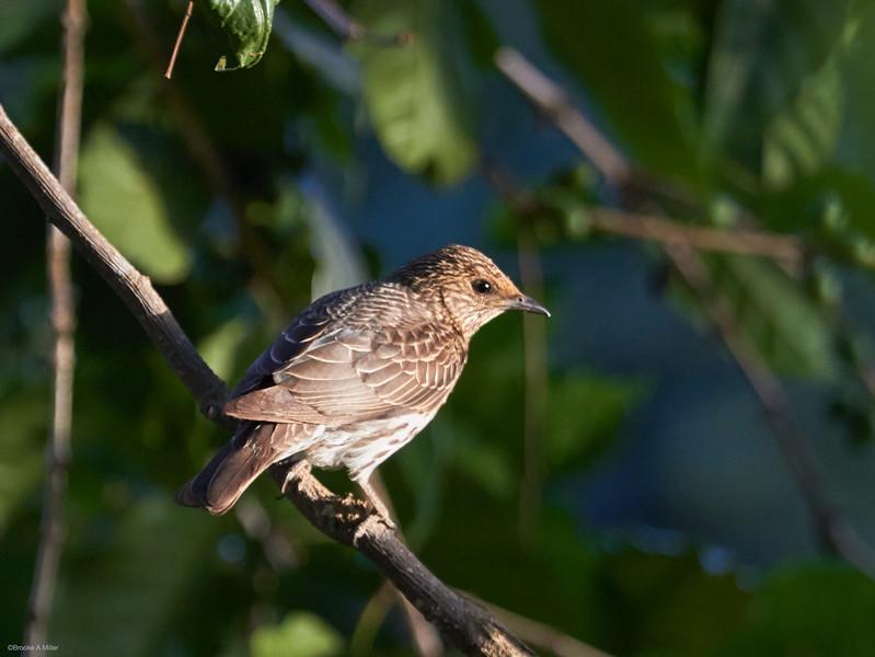 Violet-backed Starling (female)
