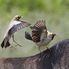 Wattled Starlings on the back of a Wildebeest