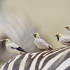 Wattled Starlings on Zebra's Back