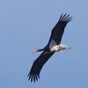 Black Stork