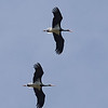 Black Storks Flying in Tandem