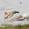 Pink-backed Pelican with Yellow-billed Stork and African Spoonbill