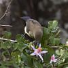 Kenya Violet-back Sunbird (female)