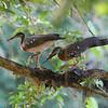 A Pair of Sunbitterns Making a Nest