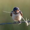 Barn Swallow, Sierra Valley, 11-June-2014