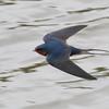 Barn Swallow in Flight, Joseph D Grant County Park, 29-March-2014
