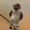 Cliff Swallow (juvenile)