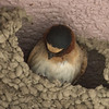 Cliff Swallow, Mono Lake Visitor's Center
