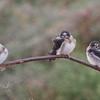 Juvenile Cliff Swallows, Salt Pond A2E, 4-Aug-2013
