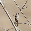 Northern Rough-winged Swallow, Del Puerto Canyon Road, Stanislaus County