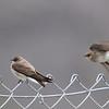 Northern Rough-winged Swallows, Coyote Lake CP, Santa Clara County, 5-April-2014