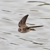 Northern Rough-winged Swallow in Flight, Joseph D Grant County Park, 29-March-2014
