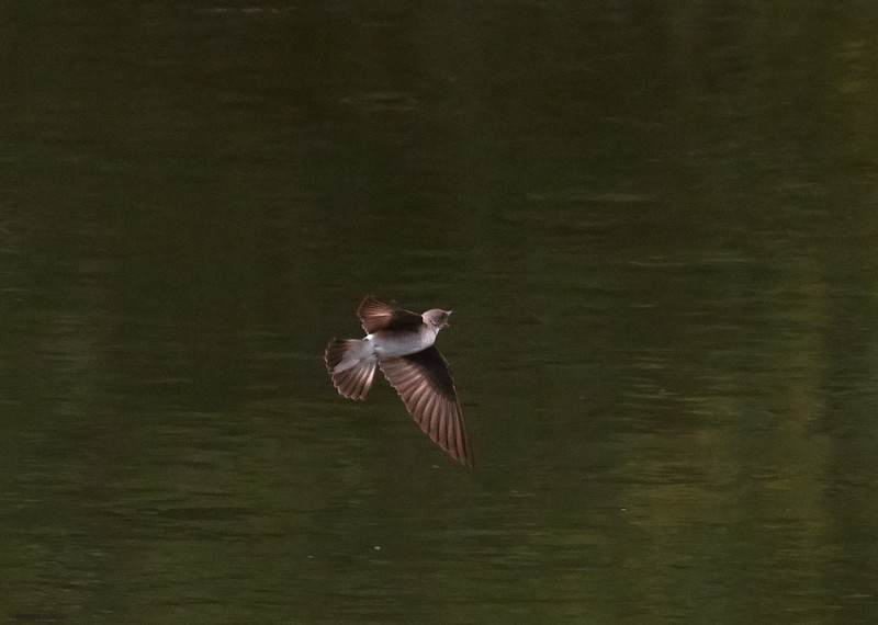 Northern Rough-winged Swallow in Flight