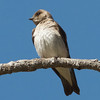 Northern Rough-winged Swallow, Del Puerto Canyon, Stanislaus County, CA, 10-May-2014